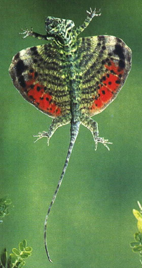 Best flying dragon lizard