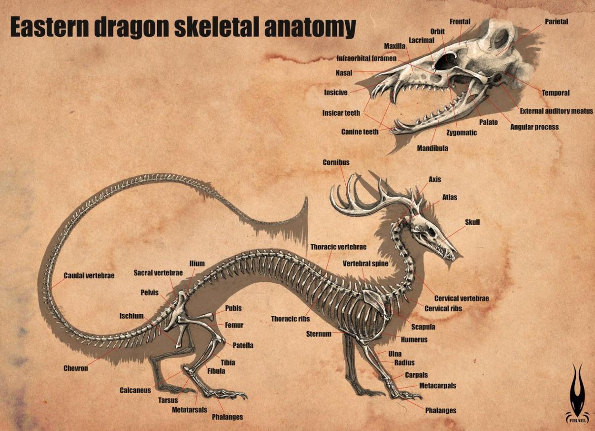 eastern_dragon_anatomy